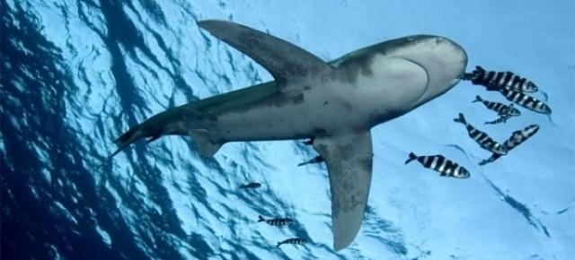 Haaien: De Klok Tikt ... Uitsterven Is Geen Optie!